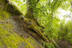 Tree with bare roots covered with green moss grows on the stone. Tree with bare roots covered with green moss grows on stone among leaves, damp forest, Park Stock Images
