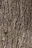 Tree bark. Wild chestnut tree bark closeup detail shot Royalty Free Stock Photography