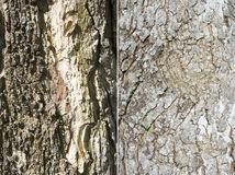 Tree bark. Texture on surface of a old tree. Two texture in a file Royalty Free Stock Photography