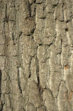 Tree bark. Background of an oak tree trunk Stock Images