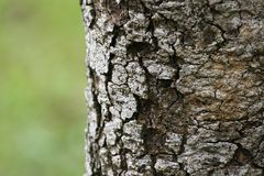 Tree bark. Rough bark on tree trunk Stock Photos