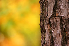 Tree bark. Bark of a tree against blurred fall leaves Royalty Free Stock Photo