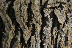 Tree Bark. Rigid tree bark on a tree stock photos