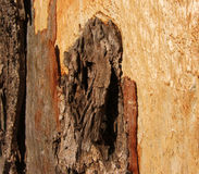 Tree bark. Bark of a Eucalyptus tree Royalty Free Stock Photography