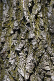 Tree bark. Closeup Royalty Free Stock Image