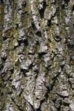 Tree bark. Closeup royalty free stock image