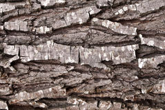 Tree bark. In an ancient forest Royalty Free Stock Image