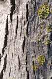 Tree Bark Background. Structure of a bark of a tree close up Royalty Free Stock Photos