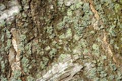 Tree bark background. Stock Photography
