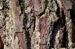 Tree Bark Background Royalty Free Stock Image