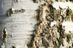 Tree Bark Background Royalty Free Stock Photo