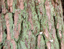 Tree Bark Background. Background of Tree Bark in Winter Forest Stock Images