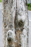 The tree bark. Bark, branches, tree, trunk brown abstract background cellulose closeup cork decay detail dirty dry environment firewood forest giant gray grey Royalty Free Stock Image
