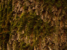 Tree bark. Brown tree bark with moss, can be used as background Stock Image