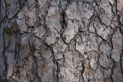 Brown grey tree bark pattern. Brown bark pattern on tree Royalty Free Stock Photos