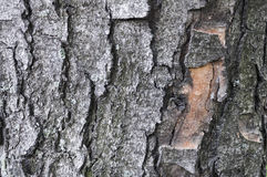 Tree bark of a chestnut texture background.  Stock Images