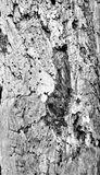 Tree bark. A close up of abstract and textural bark of a full grown tree in a new York state park Royalty Free Stock Image