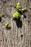 Tree bark close-up. Royalty Free Stock Photos