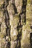 Tree bark, close-up Royalty Free Stock Photo