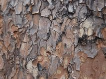 Tree Bark closeup in browns and greys. Pine Tree Bark shades of brown and grey textured background Royalty Free Stock Photos