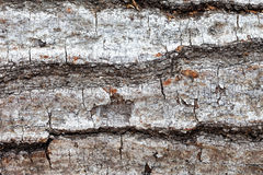 Tree bark closeup Royalty Free Stock Image