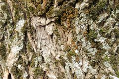Oak bark overgrown with green moss. stock images