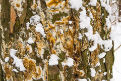 Tree bark cover with mold and moss and snow textured background Royalty Free Stock Photography
