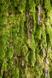 Tree bark covered with green moss Royalty Free Stock Photography