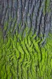 Tree bark. Covered with green moss Royalty Free Stock Photo