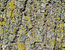 Tree bark covered by moss. Tree bark and moss close up Stock Photography