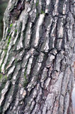 Tree bark with cracks and fungus Stock Photography