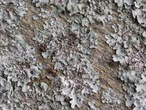 Lichen on the bark. Tree bark Crustose lichen. The white lichen on the bark. Smooth texture of bark and moss Stock Images