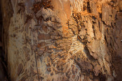 Tree bark damaged by a woodworn. Close up Stock Photography