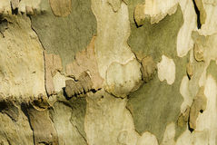 Tree bark detail. Showing very rough bark Stock Photography