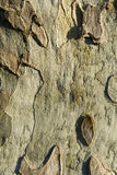 Tree bark detail. Showing very rough bark Royalty Free Stock Image