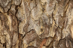 Tree bark detail, abstract background.  Royalty Free Stock Photo