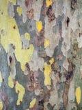 Tree Bark Detail. Detail of mottled multi-coloured peeling tree bark, in a camouflage pattern Stock Photo