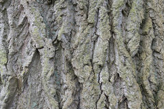 Tree bark detail. A detail of  a tree bark in the park near Rotterdam Royalty Free Stock Photography
