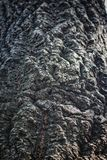 Tree Bark Detail. Showing texture Stock Images