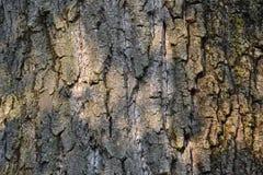 Tree bark detail. Sunlit tree bark texture detail Royalty Free Stock Photography