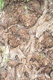 Tree bark in detail. Tree bark - bark of a very old tree in closeup Royalty Free Stock Image