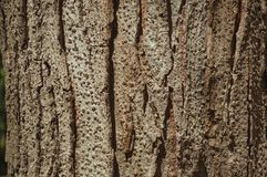 Tree bark forming a singular background in a park of Madrid. Close-up of rough tree bark forming a singular background at El Retiro Park, in a sunny day at royalty free stock image