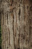 Tree bark forming a singular background in a park of Madrid. Close-up of rough tree bark forming a singular background at El Retiro Park, in a sunny day at royalty free stock photos