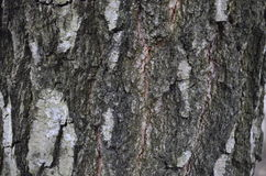 Tree bark. Great for textures where you can write and 3D objects Royalty Free Stock Images