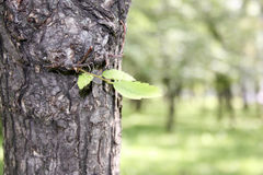 Tree bark and green leaf. Natural Royalty Free Stock Photos