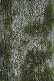 Tree Bark with Green Lichens Stock Image