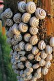 Tree bark invaded by snails Royalty Free Stock Photography