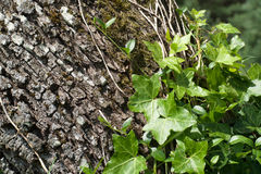 Tree bark with ivy Stock Photos
