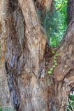 Tree bark with ivy in close-up Royalty Free Stock Photo