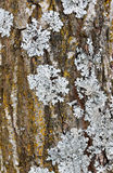 Tree bark with lichen. A detail of a tree bark with lichen royalty free stock images